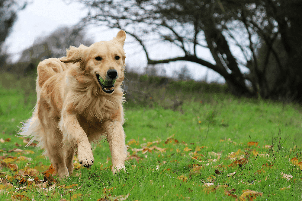 golden retriever deporte