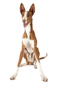 podenco ibicenco marron